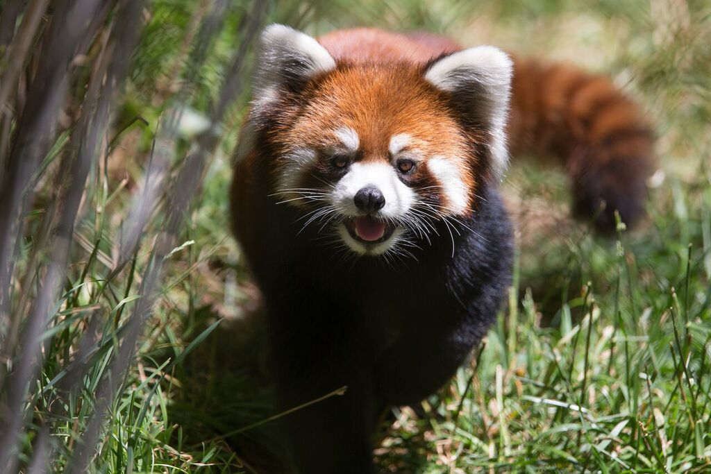 Cute Baby Red Panda Wallpaper Red Pandas Coming To The Reid Park Zoo In November Local