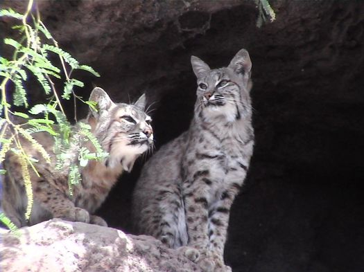 Rosie Romero: Water spraying might keep bobcat away from ...
