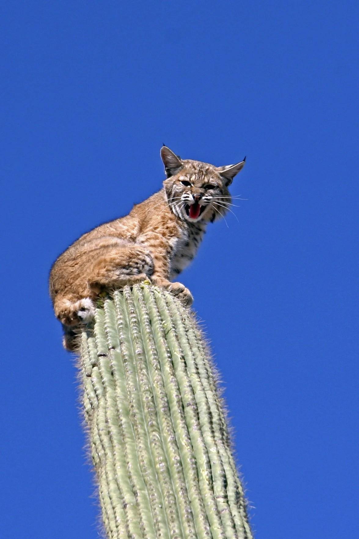 hanging indoor chair mid century barrel reader photos of southern arizona's backyard bobcats   contributed tucson.com