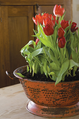 The big chill Learn a few tricks for forcing tulip bulbs