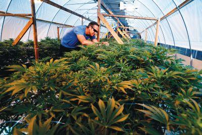 calaveras county wants pot