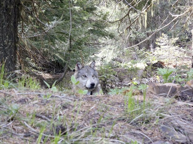 Lawmakers question wolf collar data blackout for ranchers