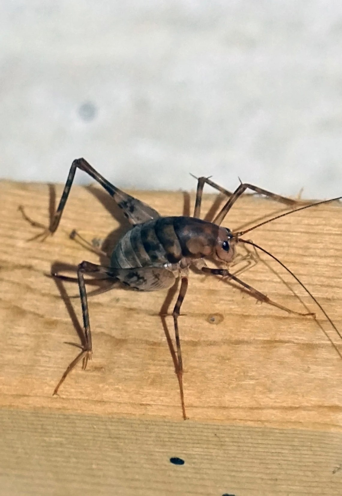 Image Result For How Do I Get Rid Of Crickets In My Ba T