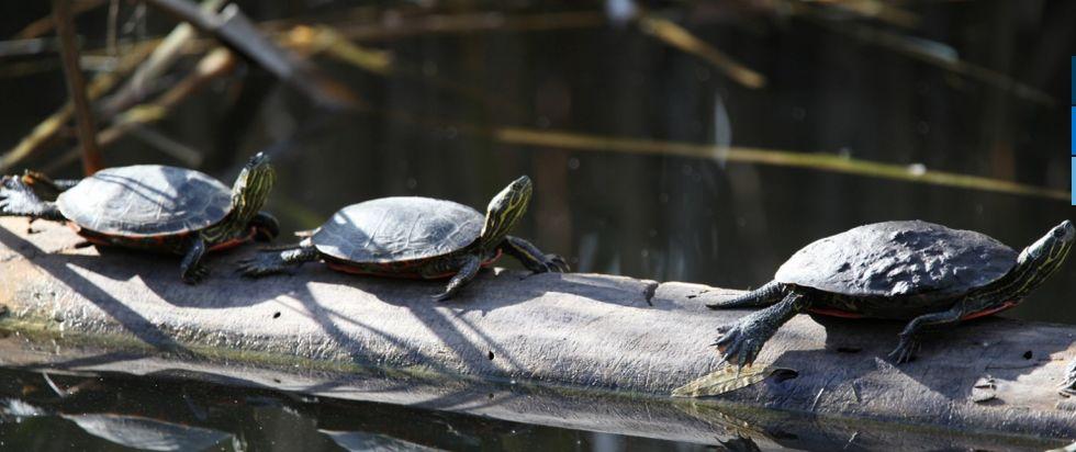 The habitat of waterfowl is being enhanced in the Rutland wetland | news