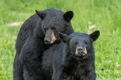 the american black bear