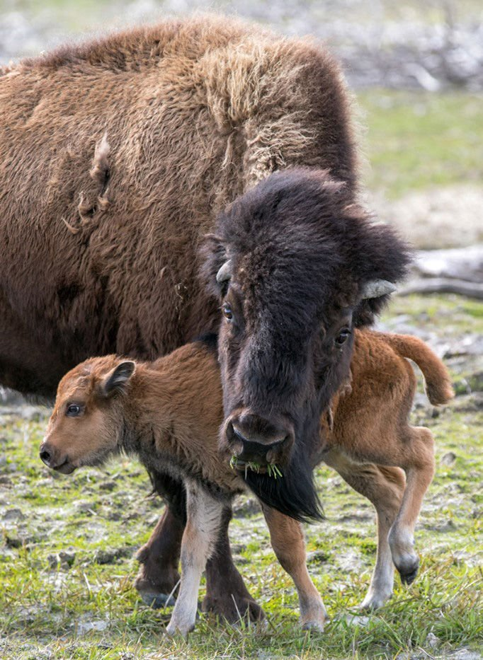 bison herd rebounds in