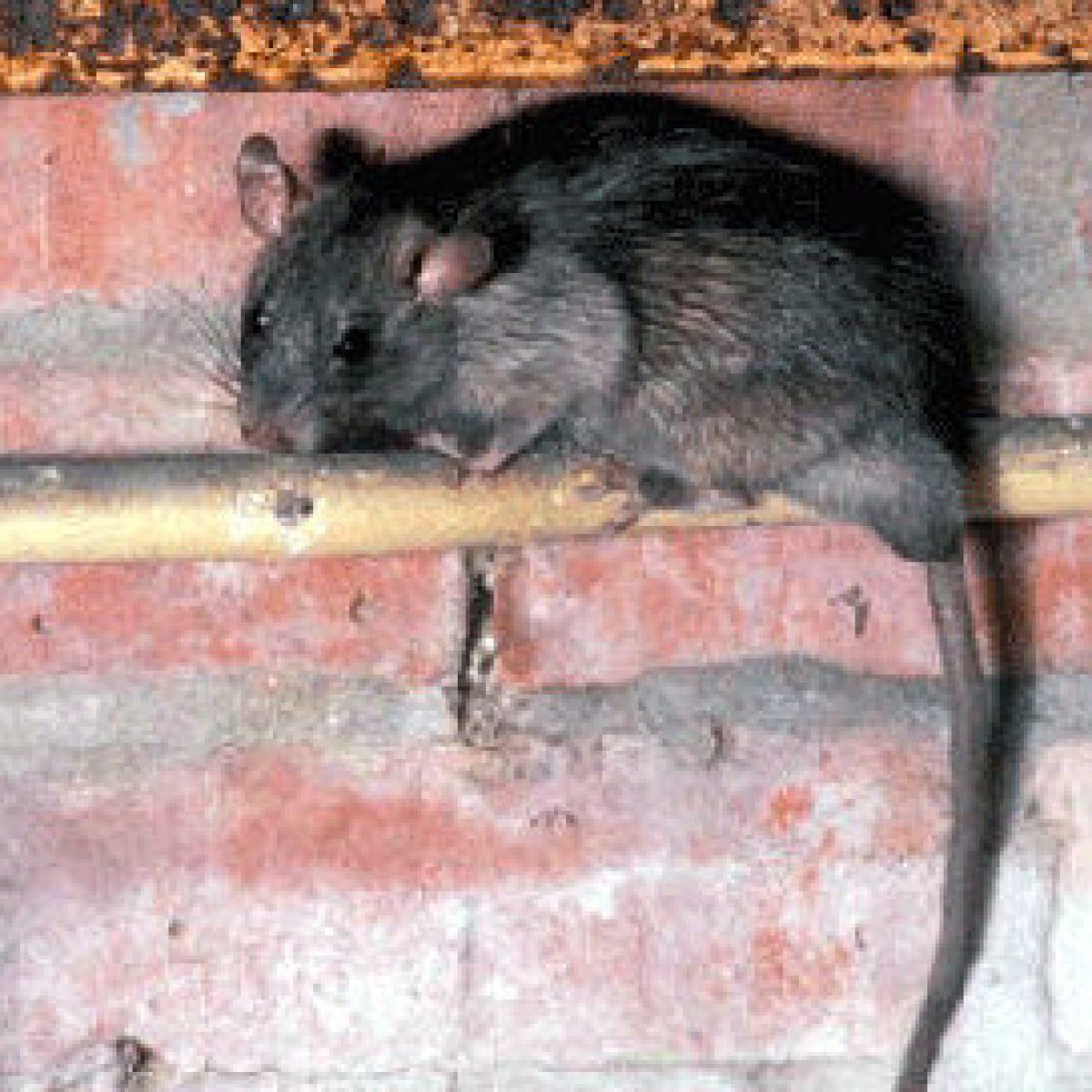 New Orleans rats are carrying pathogens that could be fatal to ...
