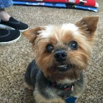 Dog Gone Problems I Need Help Potty Training My Yorkie Blogs Omaha Com