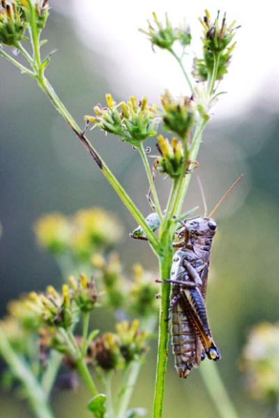 Can Dogs Eat Grasshoppers : grasshoppers, Blinded, Science:, There, Grasshoppers, Year?, UGAnews, Redandblack.com