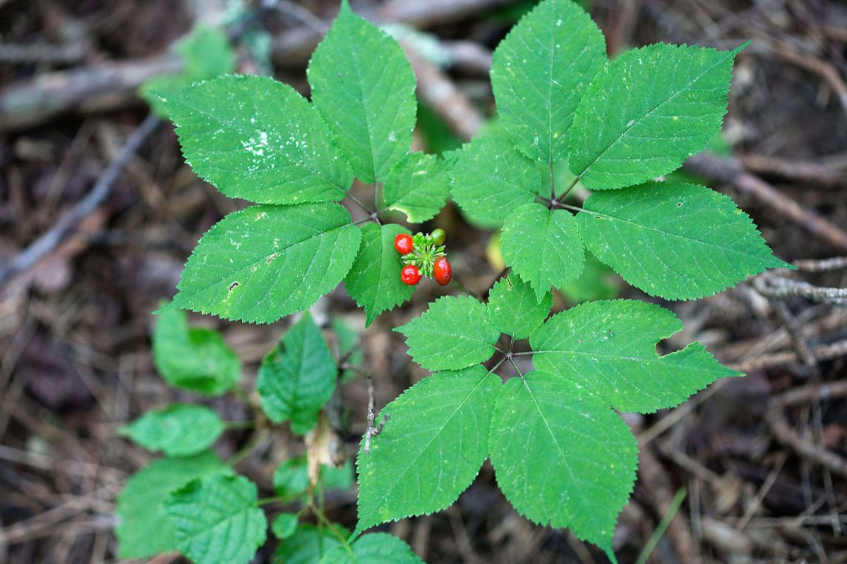 Ginseng poaching continues to grow Virginia officials say ...