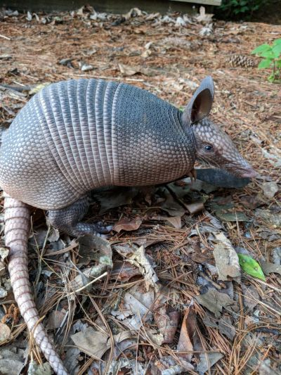 march of the armadillo