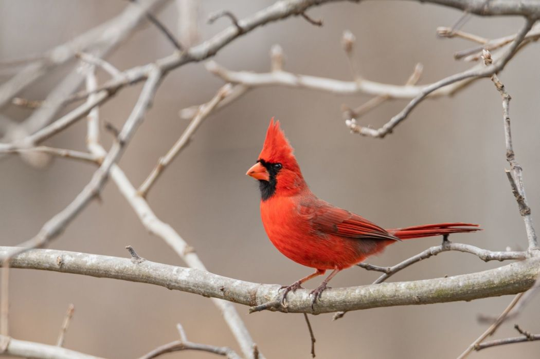 Hochman: Lack of Cardinals baseball is for the birds — literally   Benjamin  Hochman   stltoday.com