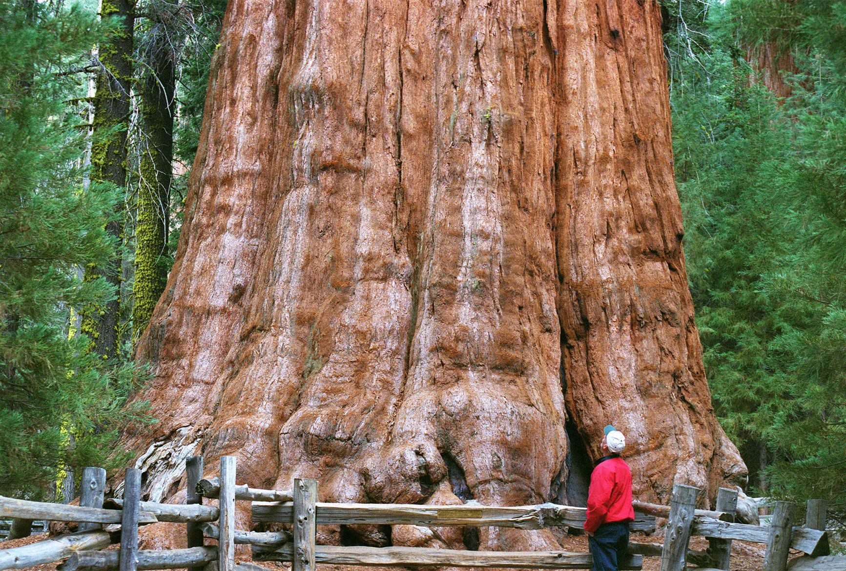 The World S Largest Living Tree By Volume Online Stltoday Com