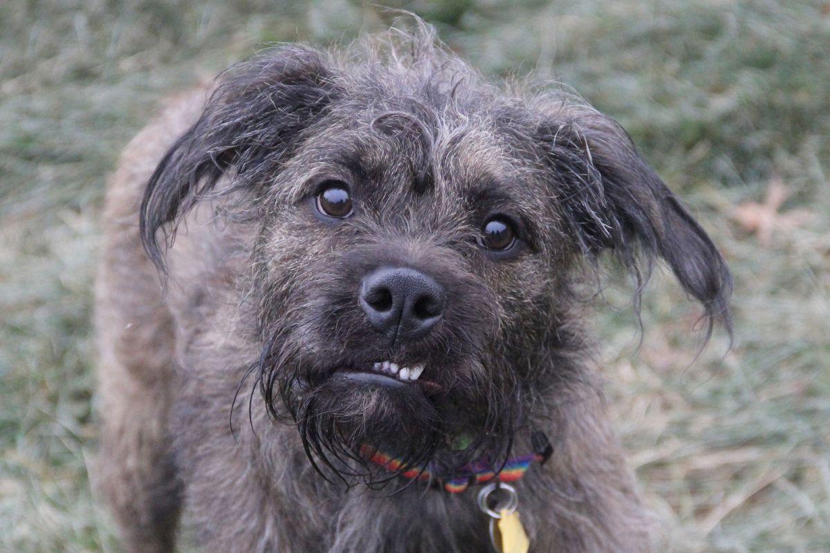 Pet of the Week Loki a border terrier mix  Pets