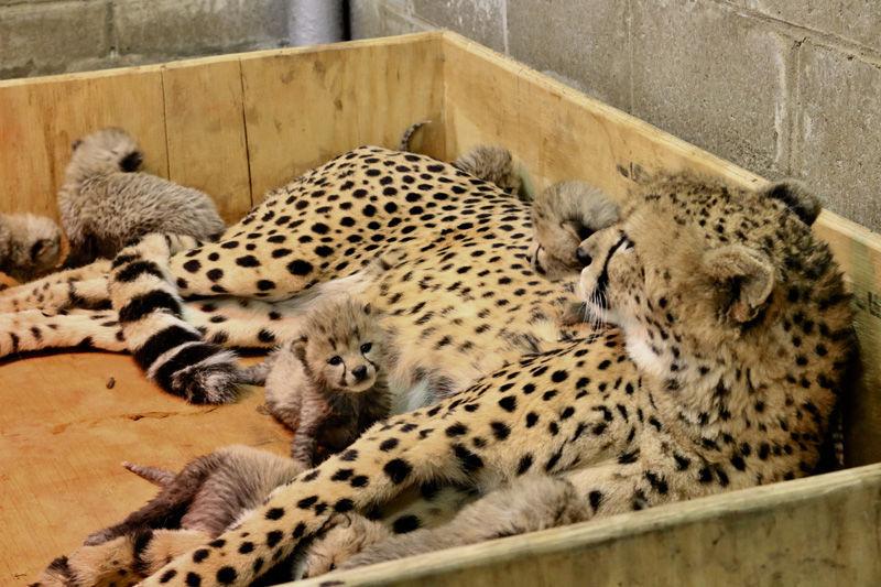 eight cheetah cubs born