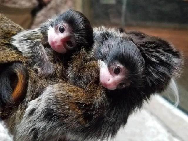 tamarin monkey baby