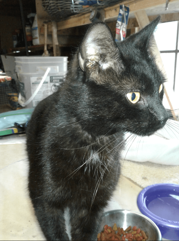 Found Cat Black Cat wwhite patch on chest in Robbins