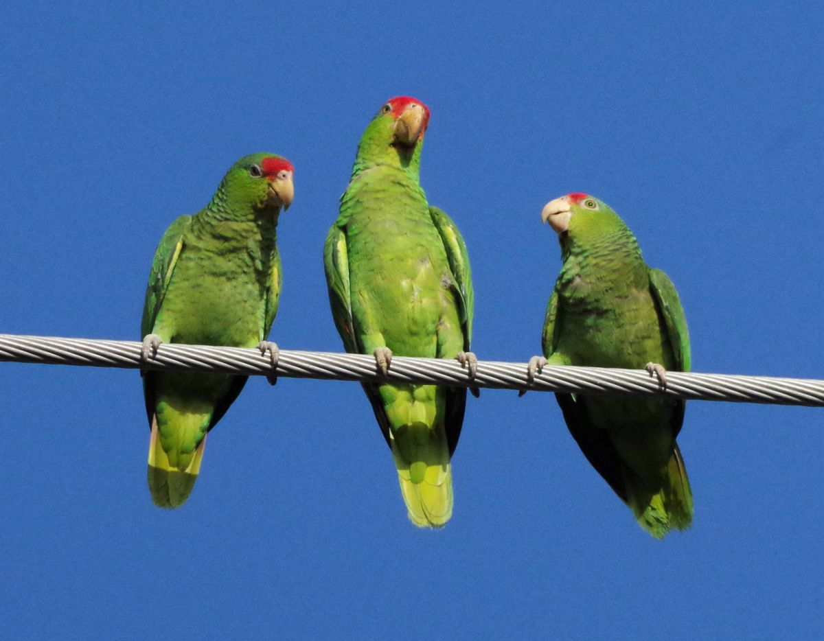 red crowned parrots wander