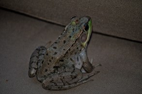 A photo of a frog sitting on a chair
