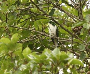 Klaas's Cuckoo, Springside 5th Jan 2013, Paul Bartho