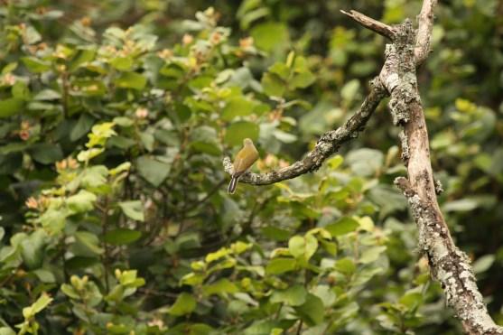 Lesser Honeyguide, Springside 5th Jan 2013, Paul Bartho