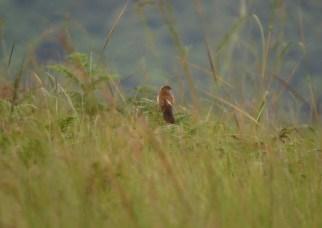 Broad-tailed Warbler - Penny de Vries
