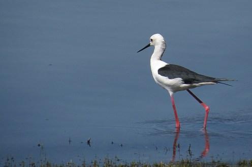 Black-winged Stilt, Ndumo
