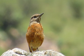 Cape Rock-Thrush - female, Mahai