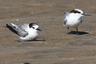 Little Terns in non-breeding plumage - Richards Bay