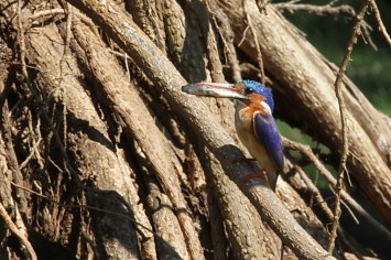 Malachite Kingfisher with dinner for his young in the base of the uprooted Fever tree, Ndumo