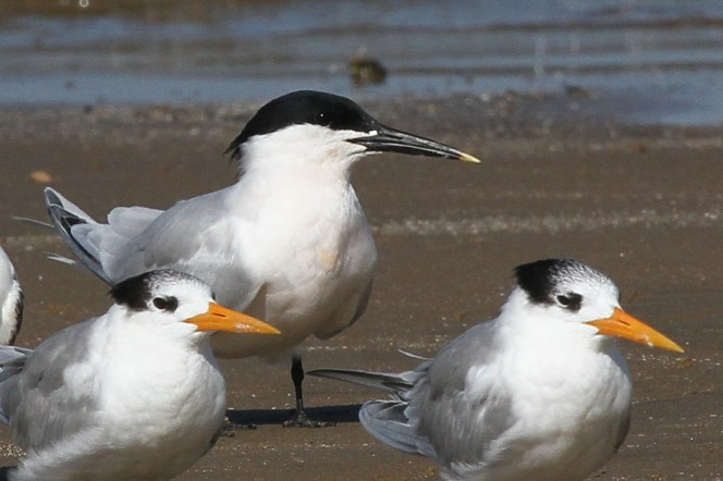 Sandwich Tern in breeding plumage, Richards Bay