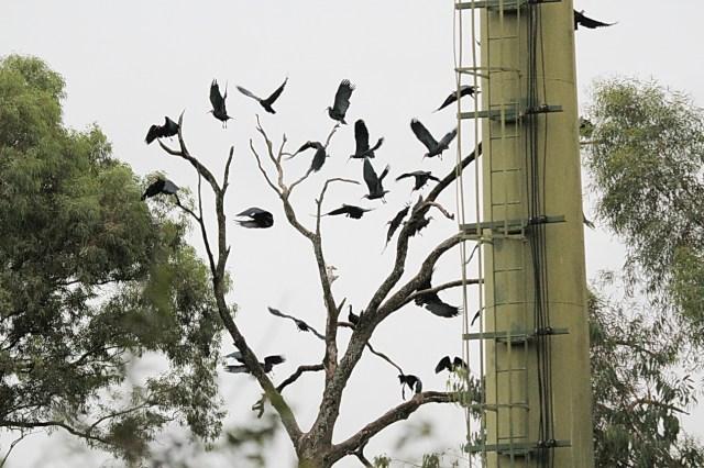 Southern Bald Ibis, Mahai