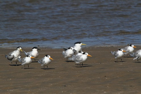 Terns, Richards Bay
