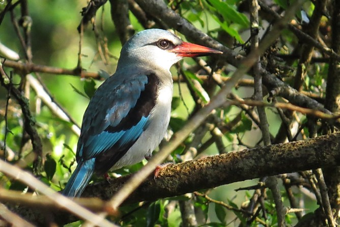 Woodland Kingfisher - Ndumo