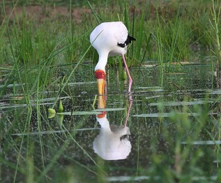 Yellow-billed Stork - Ndumo