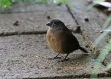 African Firefinch - female