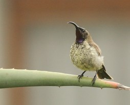 Amethyst Sunbird - immature male