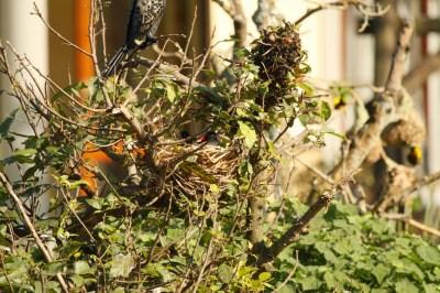 Common Moorhen on nest set on high