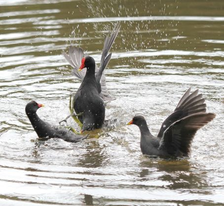 Common Moorhens - fighting