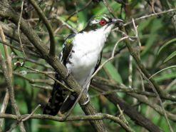Diedrick's Cuckoo - Frank Kihn