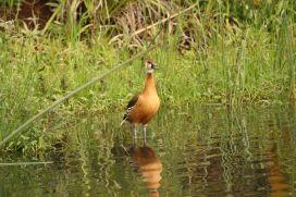 Fulvous Duck - hybrid