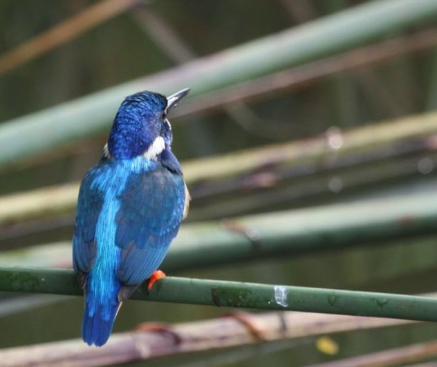 Half-collared Kingfisher