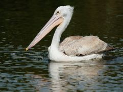 Pink-backed Pelican - Di Wayne