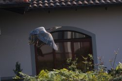 Purple Heron - up up and away