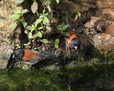 Red-backed Mannikins and young