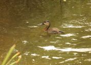 White-faced Duck - juvenile