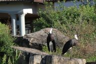 Wooly-necked Storks