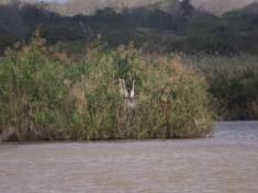 Black-headed Heron - juveniles, Nsumo Pan Mkuze