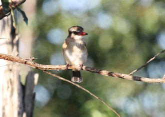 Brown-hooded Kingfisher, Ilala Palm