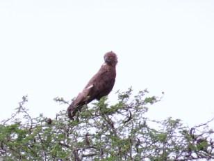 Brown Snake-Eagle, Mkuze